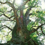 Kamou Biggest Camphor Tree