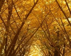 垂水千本イチョウ <br />~これから森が黄金色に染まります~