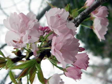 [お花見情報] いずみ桜まつり (特攻碑公園)