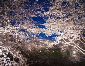 春♪ さくら♪ 鹿児島お花見情報2018