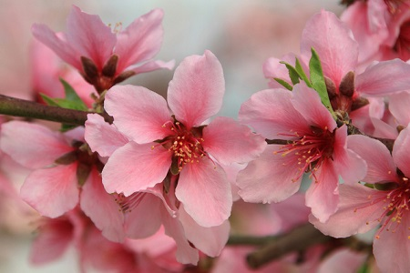 This Is Not Only The Season Of Peach Blossom But Peopel Used To Think That Trees Were Holy Which Remove Devils