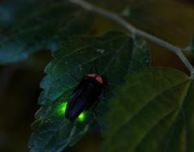 Japanese Summer Tradition - Firefly Watching -