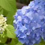 Shinonome-no-Sato: Hydrangea Garden <br />東雲の里 あじさい園