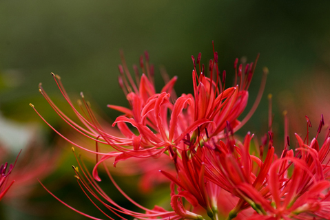 KUKINO RED SPIDER LILY FESTIVAL (Kukino Higan-baba Matsuri / 柊野ひがん花まつり)
