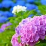 Shinonome-no-sato:  Hydrangea Garden