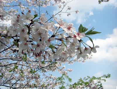 [お花見情報] くしら桜まつり(串良平和公園)